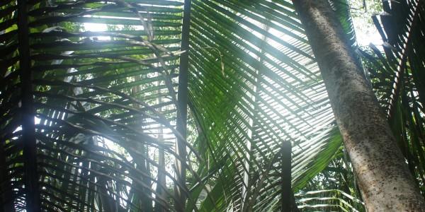 Végétation en Amazonie (ici ce qu'on utilise pour faire le toit des maisons)
