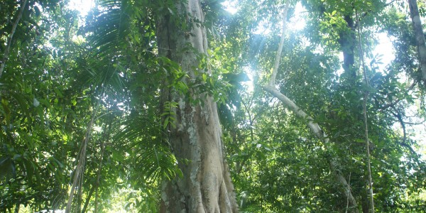 Arbre en Amazonie, on ne s'en est pas lassé !