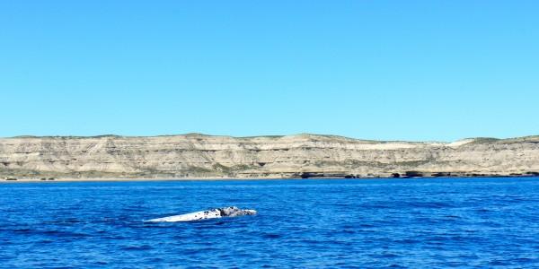 Baleineau blanc !
