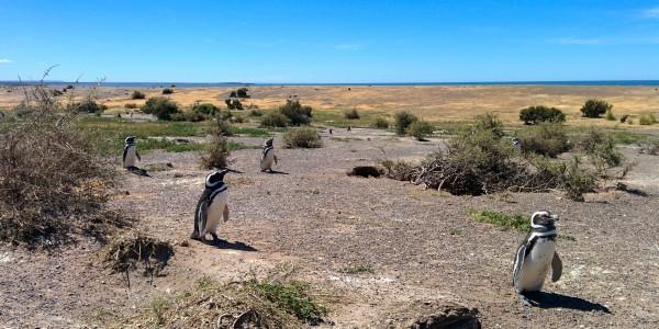 La plus grande colonie de manchots de Magellan