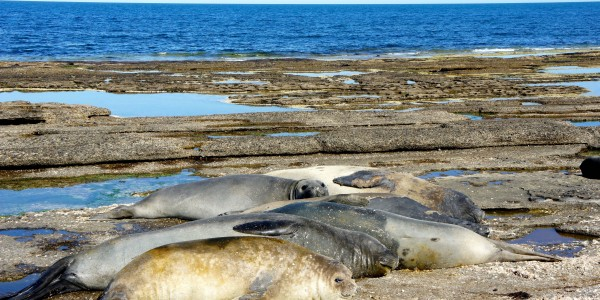 Harem d'éléphants de mer