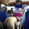 On voyage avec des lamas !