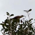Lizard-Cuckoo