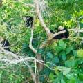 Une tribu de singe capucin
