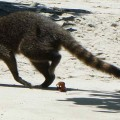 Un raton laveur sur la plage