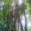 48. Carara – arbre