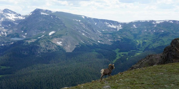 Bighorn sheep : espèce protégée
