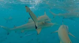 37. Snorkelling requin