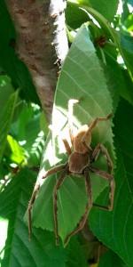 19. Araignée