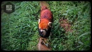 5-5-panda-roux