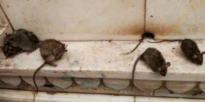 Rats de Deshnoke