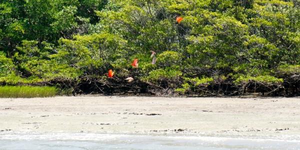 Les Ibis, magnifiques oiseaux rouges vifs !