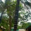 Palmier «à pics»