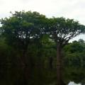Nombreux arbres dans l'eau, selon les pluies
