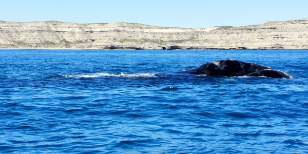 Mamita baleine