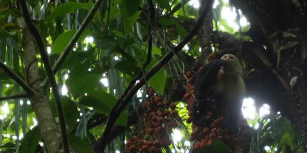 L'heure du repas pour ce singe capucin