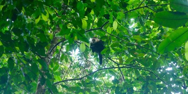 Autre singe capucin