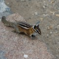 Chimpmunk : petits écureuils